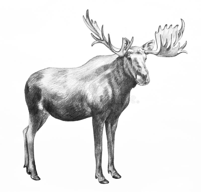 Big moose with antlers, hand drawn illustration. Moose illustration. Hand drawn moose pencil sketch isolated on white background. Huge standing moose with big vector illustration