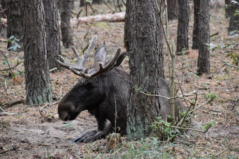 Moose bull in nature. Big moose bull in the great outdoors royalty free stock image