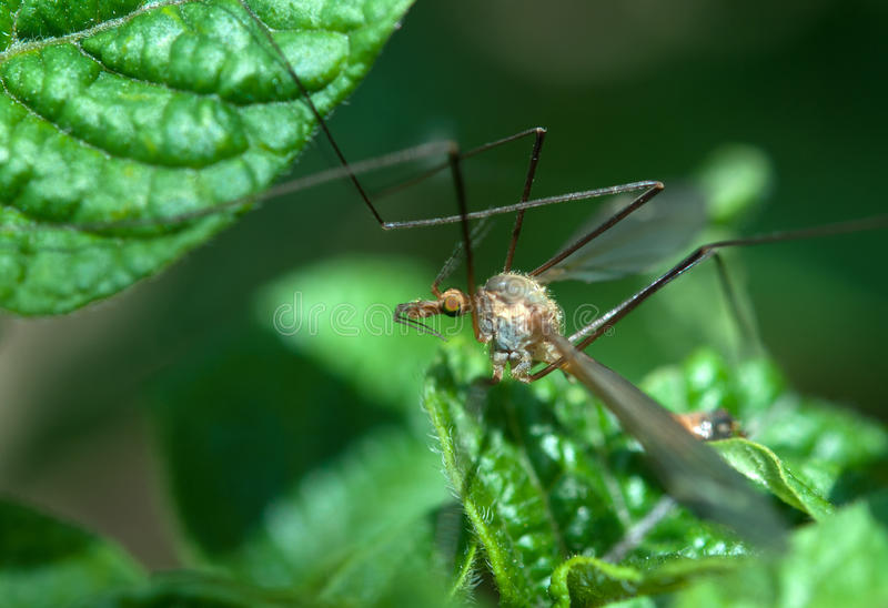Download Big mosquito stock image. Image of pest, mosquito, summer - 25176257