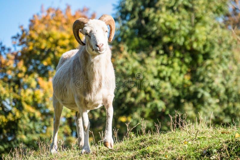 Big mouflon ram Ovis orientalis stock images