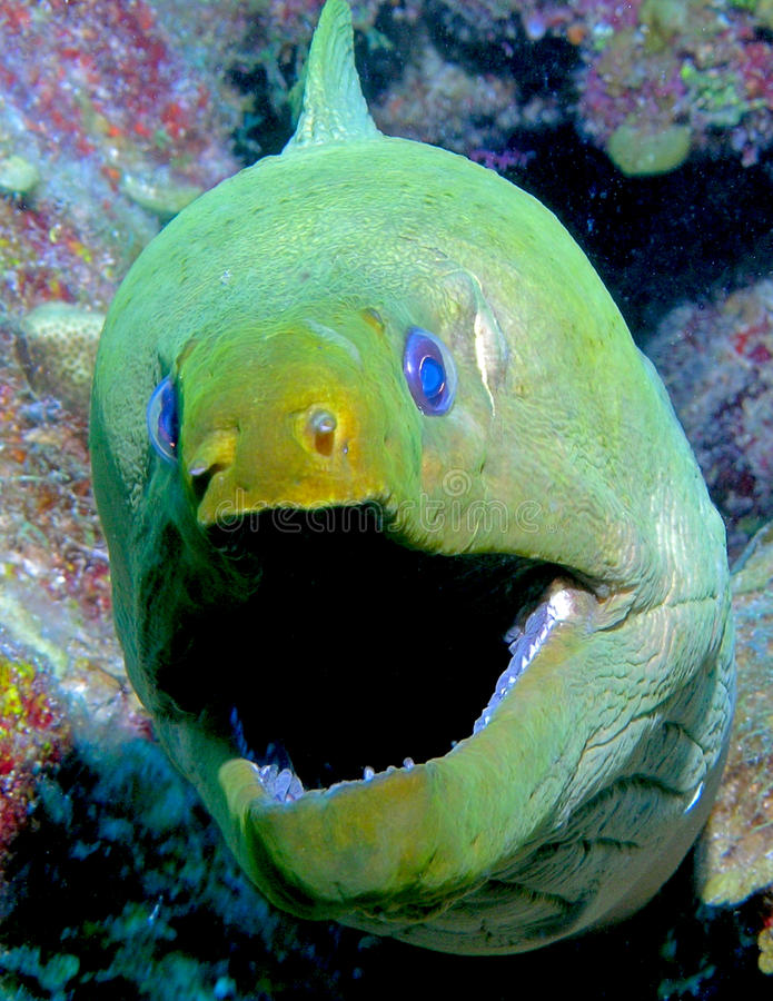 Download Big mouth Eel stock image. Image of fish, teeth, green - 13834941