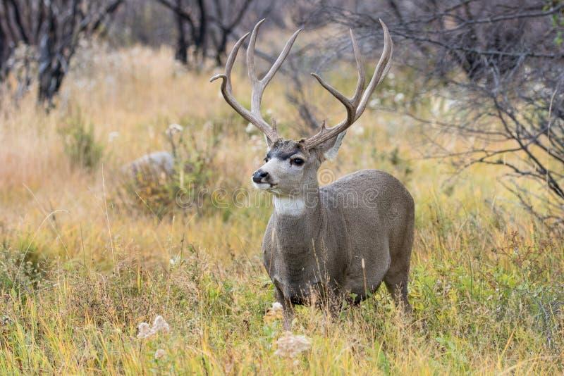 Big mule deer buck in rut. Huge mule deer buck in mountains stock images