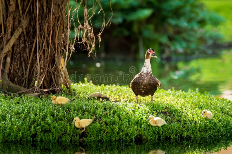 Big muscovy duck with young chickens on green grass stock images