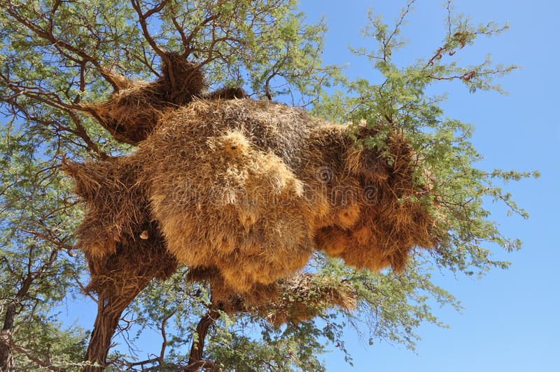 Big nest, kalahari. Nest of weaver birds on a tree in kalahari desert, namibia stock image