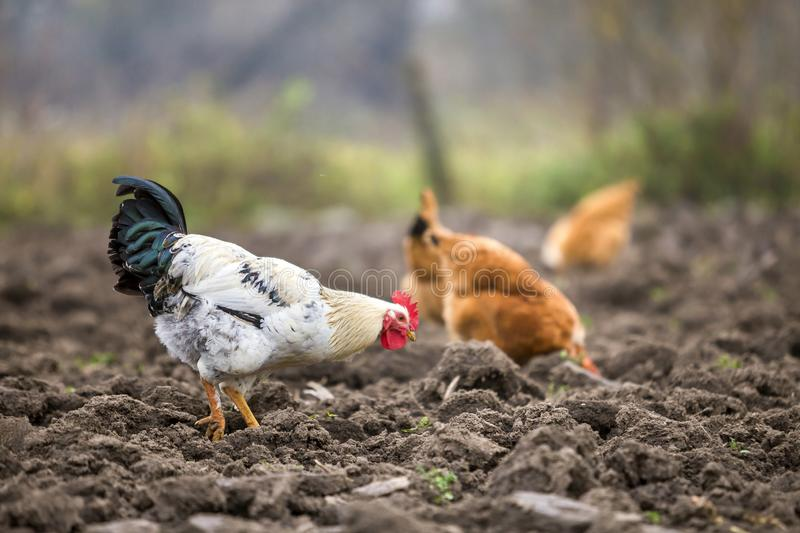 Big nice beautiful white and black rooster and hens feeding outdoors in plowed field on bright sunny day on blurred colorful rural stock photo