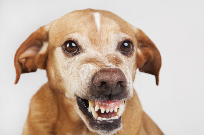 Big nose in the unfriendly dog face. Vicious expression stock photography