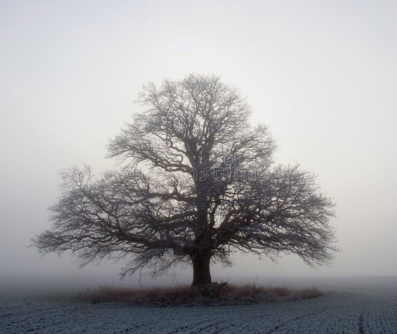 Download Big oak tree stock photo. Image of foggy, calm, growth - 4054626