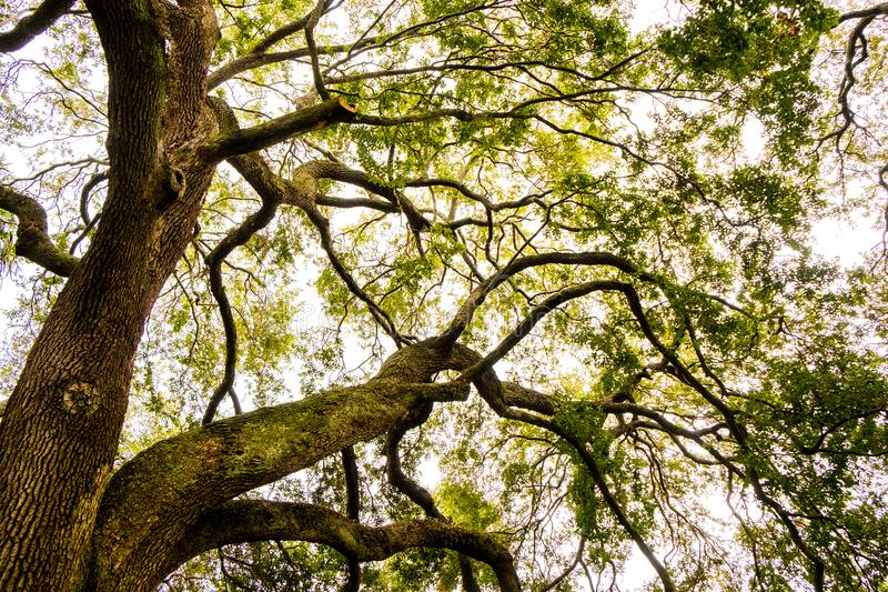 Big oak tree branches seen from below in cloudy day in charleston south carolina stock photos