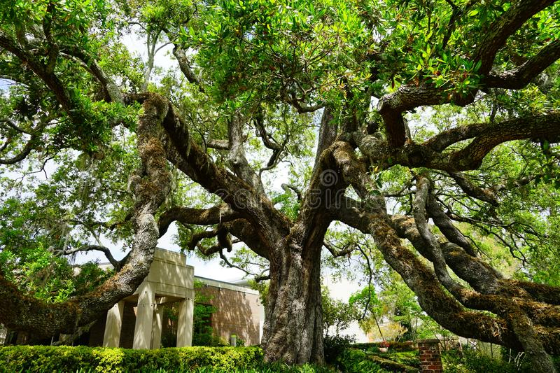 The Biggest Oak Tree In Jacksonville, Florida Stock Photo - Image of ...