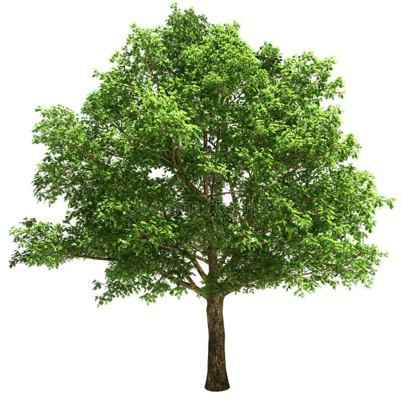 Free Big Oak Tree Isolated Royalty Free Stock Photo - 34045385