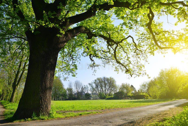Big oak tree in the park. Spring landscape royalty free stock photo