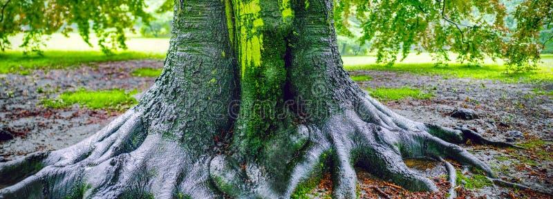 Big Oak tree after rain stock images