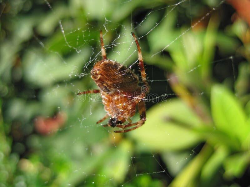 Download Big Ol Spider macro stock image. Image of attack, sharp - 11529025
