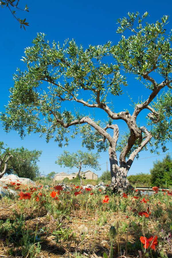 Big and old ancient olive tree in the olive garden in Mediterran royalty free stock photography