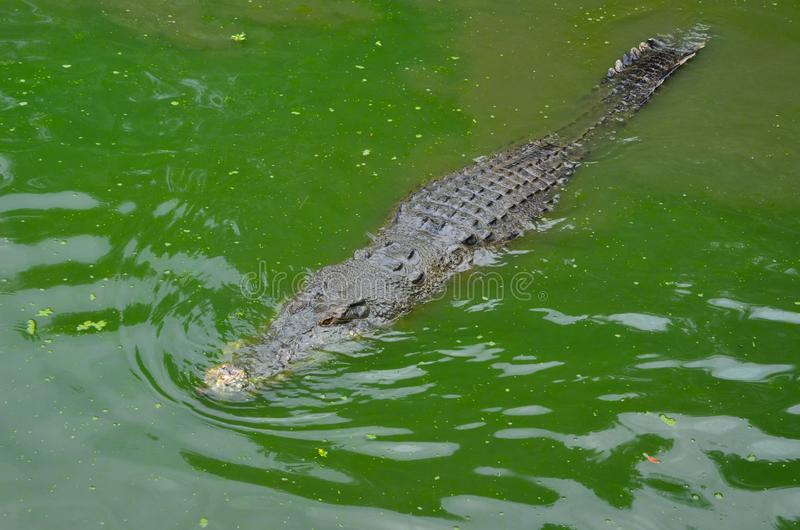 A big old crocodile lurking in the green water. View from above. Crocodile farm on the Langkawi island, Malaysia royalty free stock image