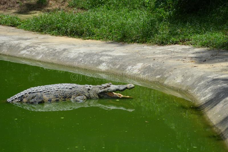 A big old crocodile with open mouth lies in the green water near the shore and waits for food. At the crocodile farm on the Langkawi island, Malaysia royalty free stock photos