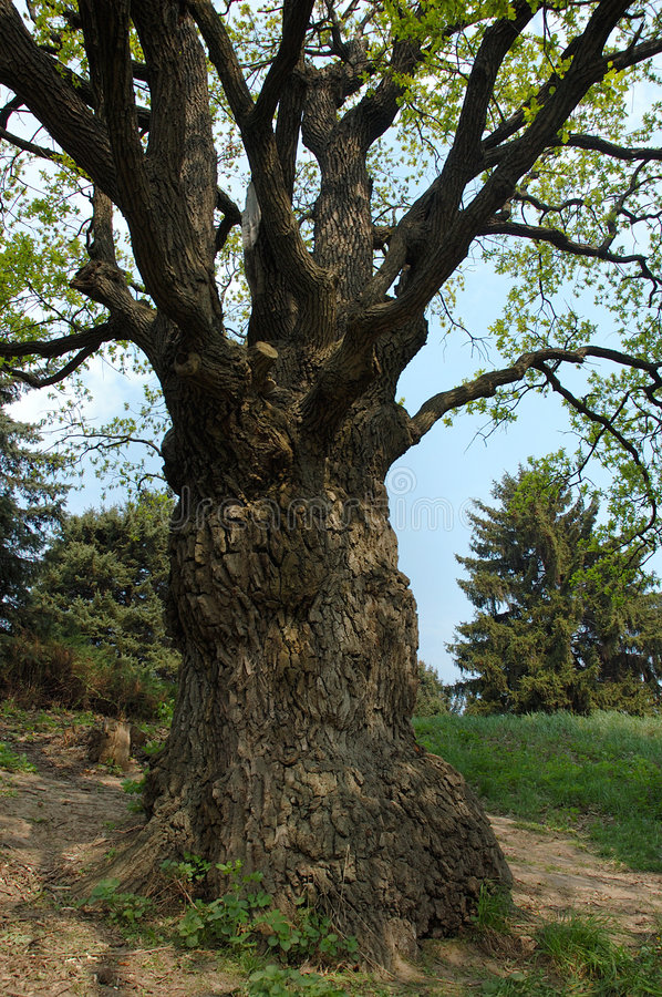 Download Big old oak-tree stock image. Image of standing, texture - 835999