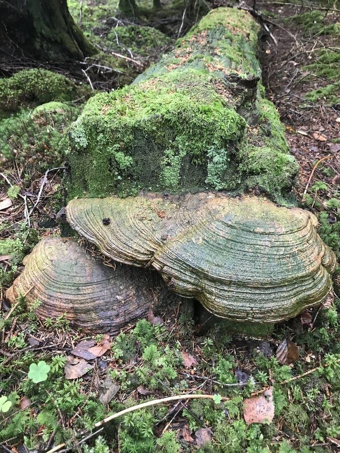 Polypore ushroom, bracket fungi, mycology stock photography