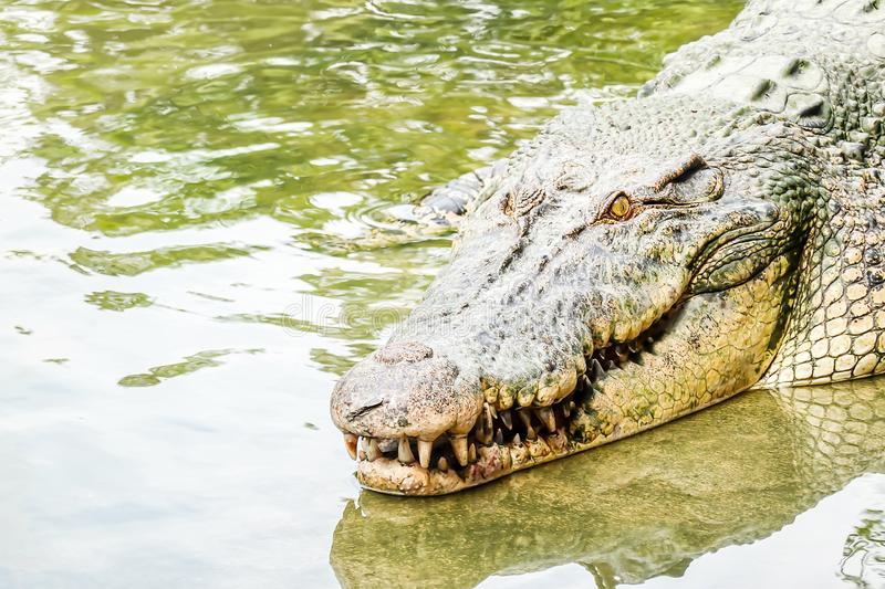Big old powerful fresh water crocodile going into the water from a river bank. Looking strong, teeth visible going into the water. From a river bank. Looking stock images
