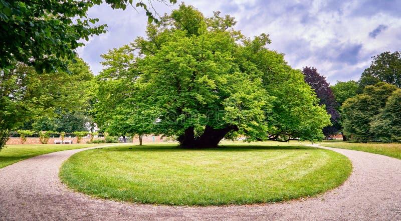 Big old tree in the park. Schwerin, Germany. Nature, green, oak, large, landscape, beautiful, background, grass, wood, plant, season, mecklenburg-vorpommern stock images