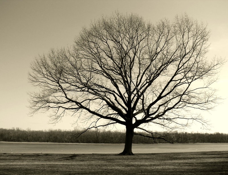 Big Old Tree by the River in Winter stock image