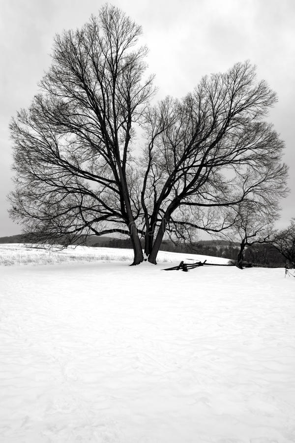 Big Old Tree in Snow at Valley Forge National Park. Big old tree in a field in winter snow at Valley Forge National Historical Park military camp of the royalty free stock image