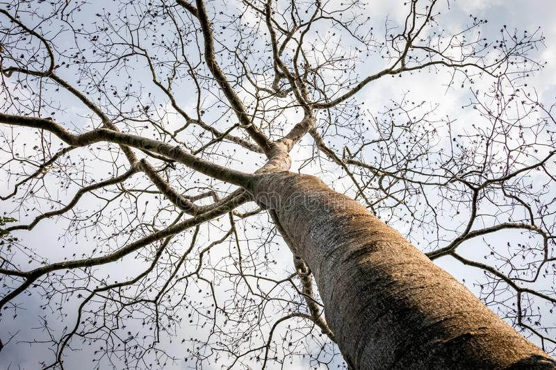 Big old tree without leaf on branches royalty free stock photos