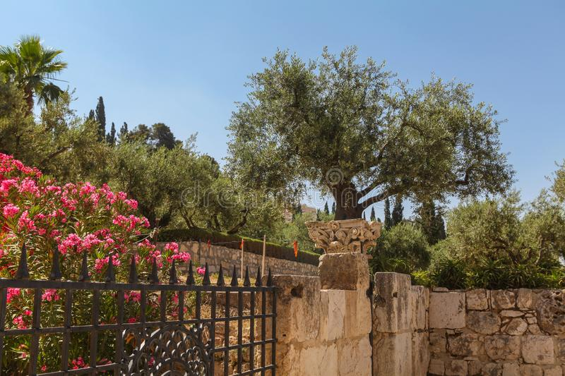 A big olive tree on the Mount Zion royalty free stock image