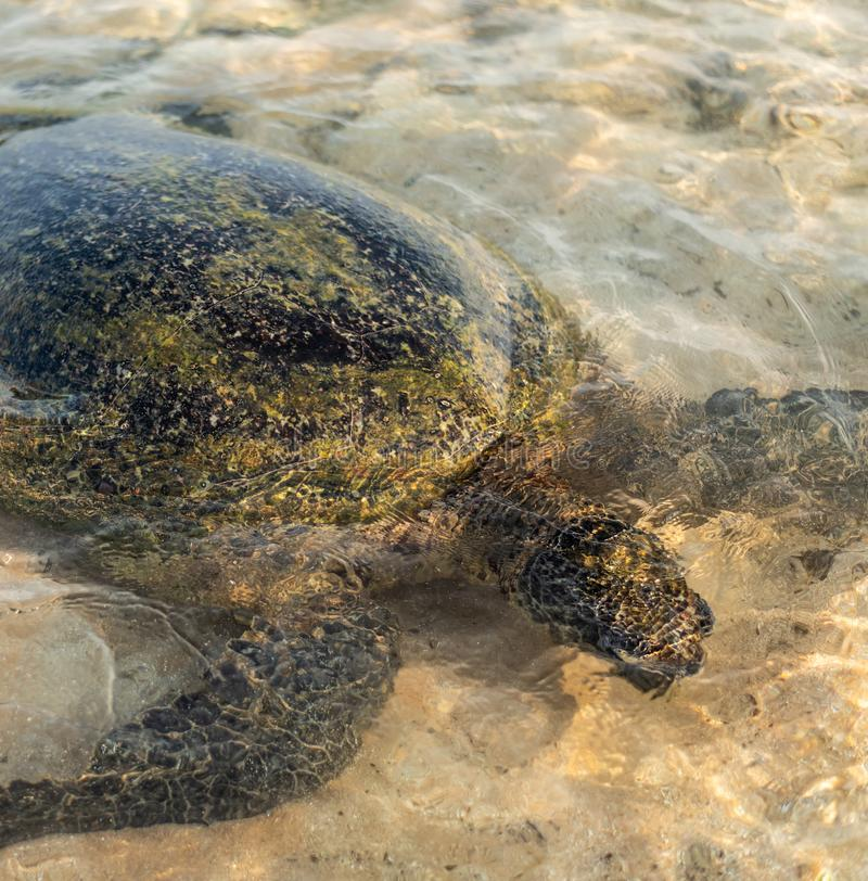 Big olive turtle in the water on the coast of the Turtle Beach in Hikkaduwa, Sri Lanka in the Indian Ocean. Bundle of brown algae in the turtle`s mouth royalty free stock image