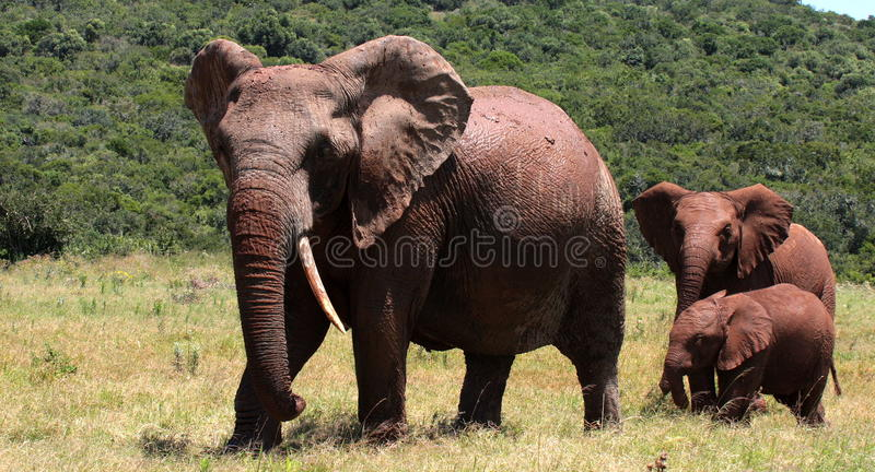 A big one tusker elephant and her calf royalty free stock image