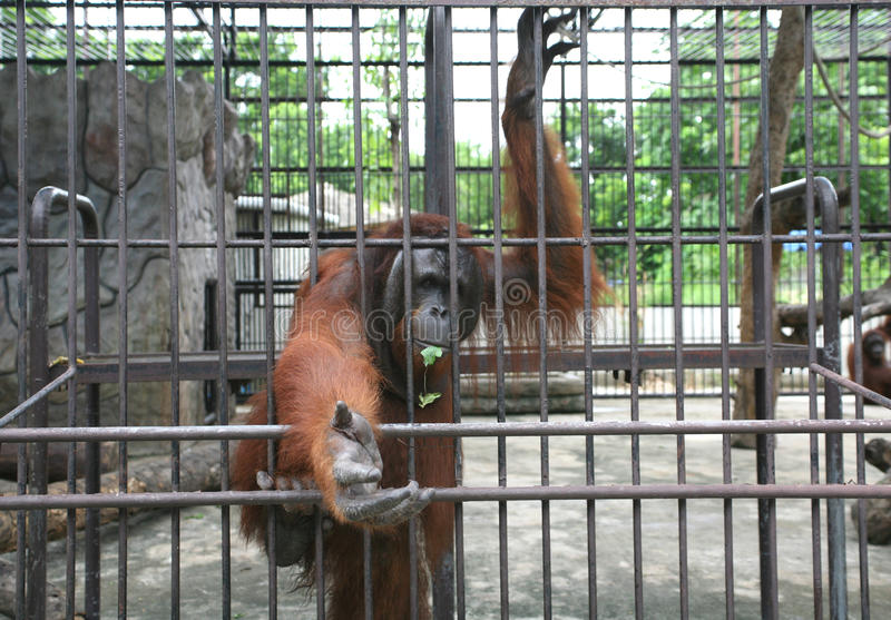 Big orang-utan in zoo. Big orang-utan behind bars in a big city zoo asking for any attention and food stock images
