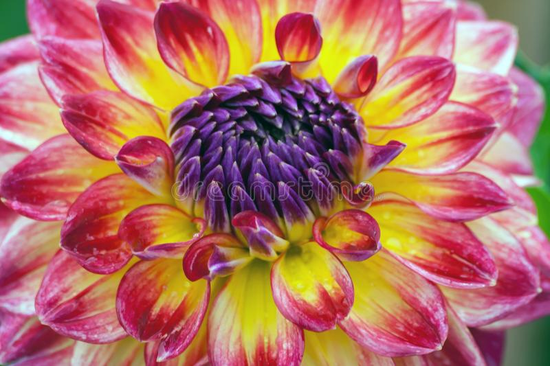 Big orange chrysanthemum with yellow lilac growing in the garden. In nature, after the rain wet the flowers, visible water droplets, dark and rich color lilac stock photos