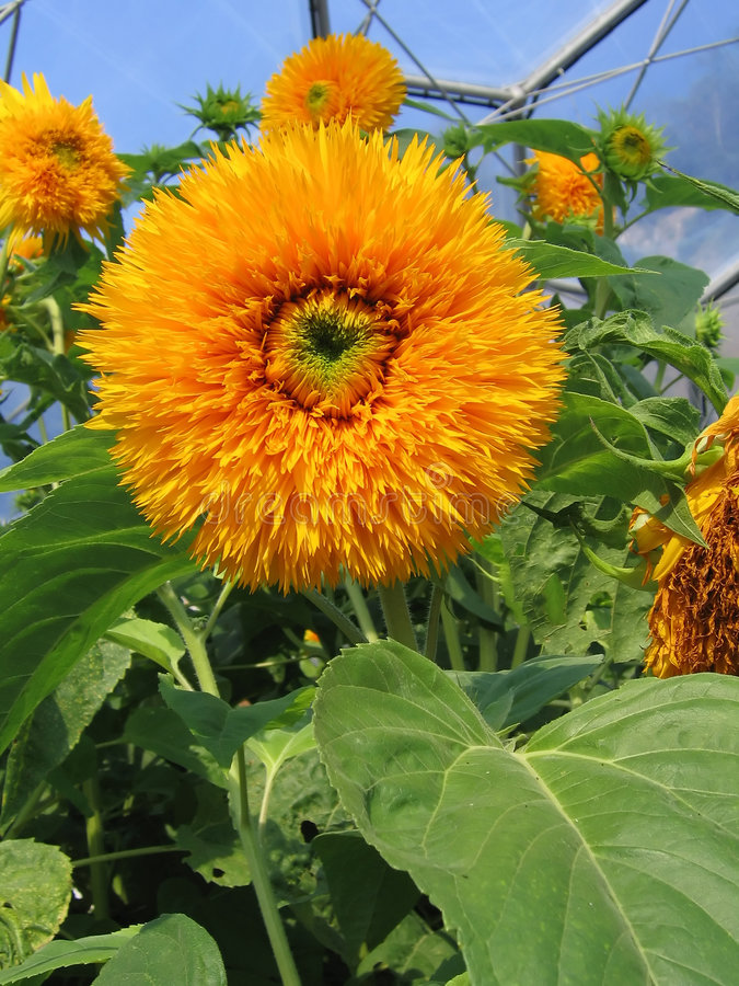 Big Orange Flower royalty free stock images