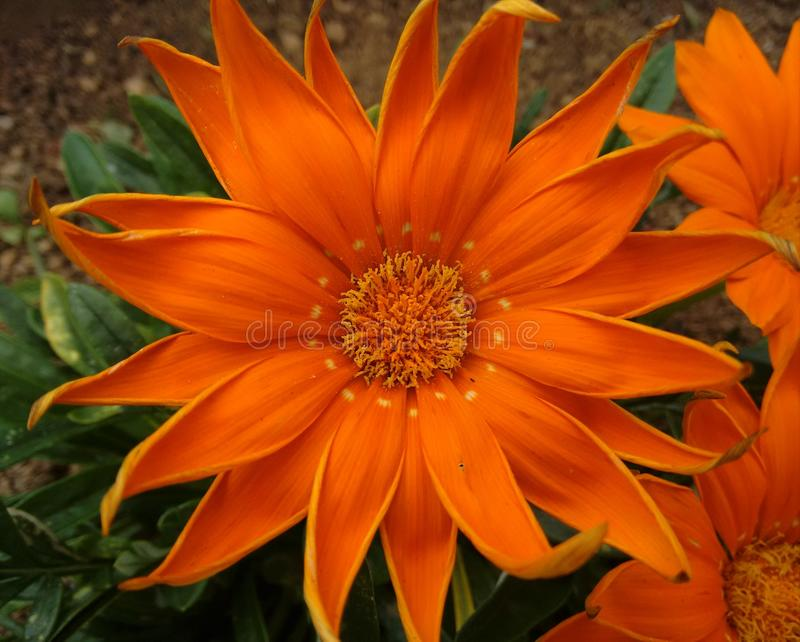 Big orange flower royalty free stock photos