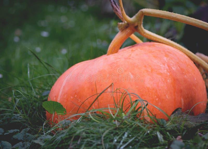 Big orange pumpkins growing in the garden stock images