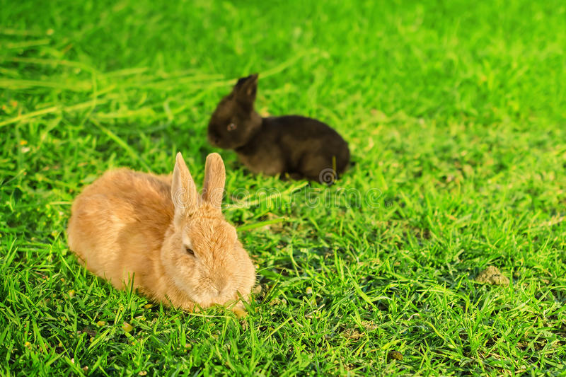 Big orange rabbit and black bunnie resting on grass. Big orange rabbit and black bunnie resting on green grass royalty free stock image