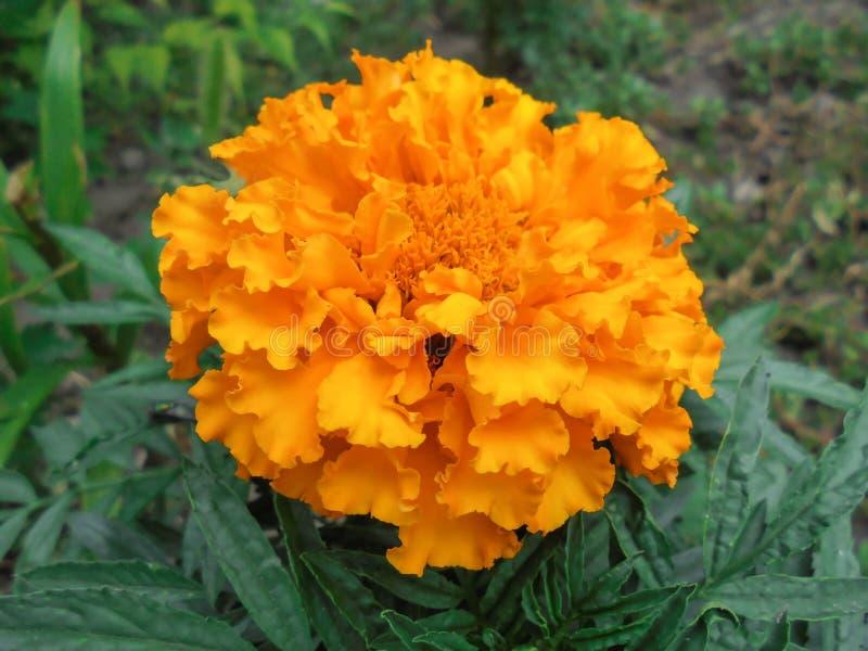 Big orange Tagetes erecta flower stock images