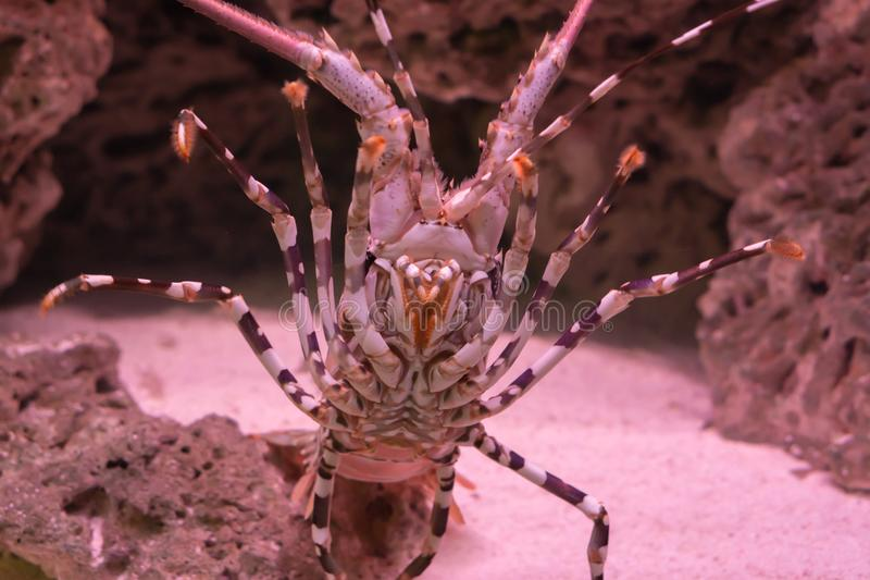 Big ornate spiny rock lobster in closeup from his belly showing of his whole under body with legs stock photos