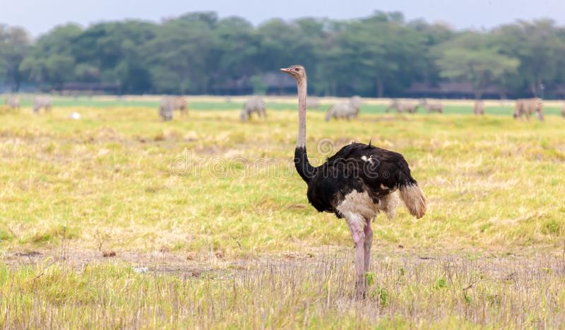 Big ostrich is walking in the savannah of Kenya royalty free stock photography