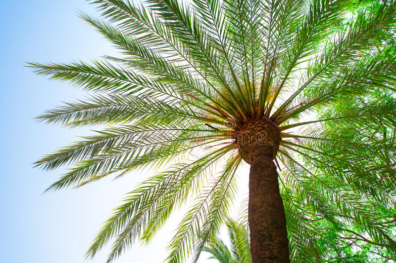 Download Big palm tree stock image. Image of blue, tropical, exotic - 26855735