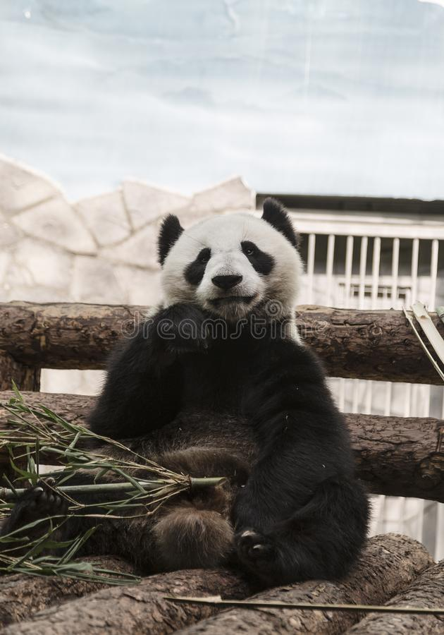 Big panda or bamboo bear in zoo. Big panda or bamboo bear in Moscow zoo royalty free stock photo