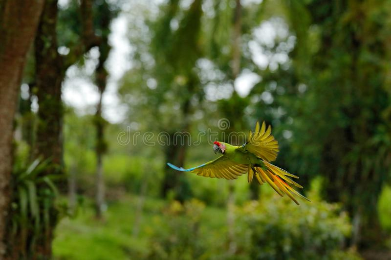 Big parrot in habitat. Endangered parrot, Great green macaw, Ara ambiguus, also known as Buffon`s macaw. Wild tropical forest bir. D, flying with outstretched royalty free stock image