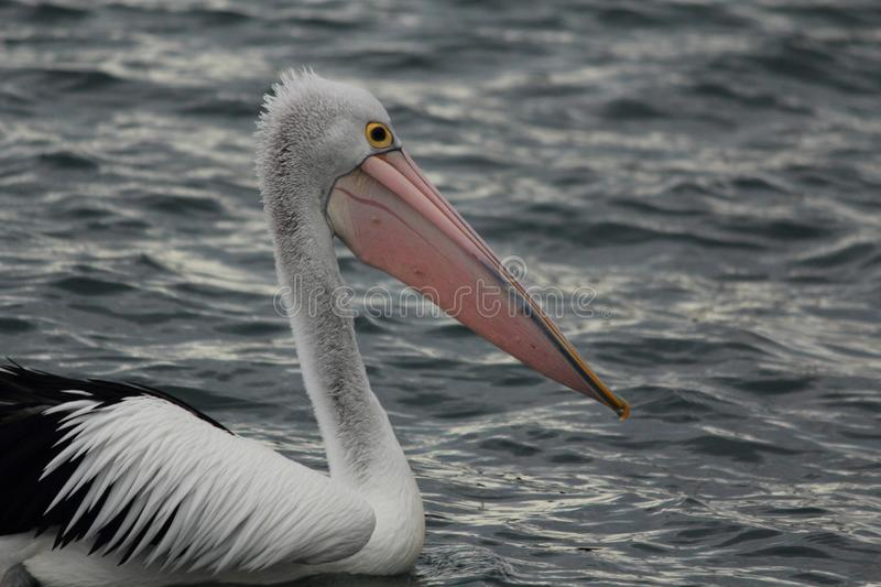 Pelican in Gippsland Lakes, Australia stock images