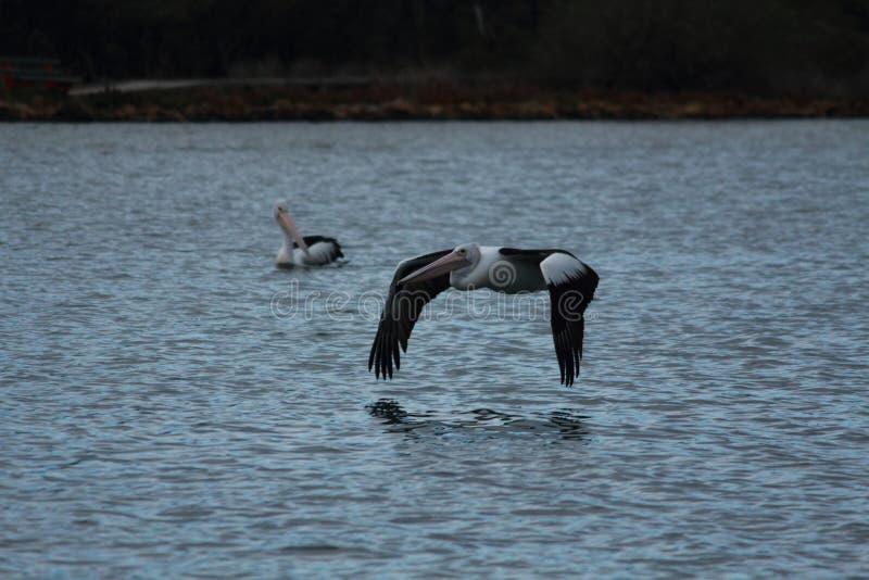 Pelican in Gippsland Lakes, Australia stock photography