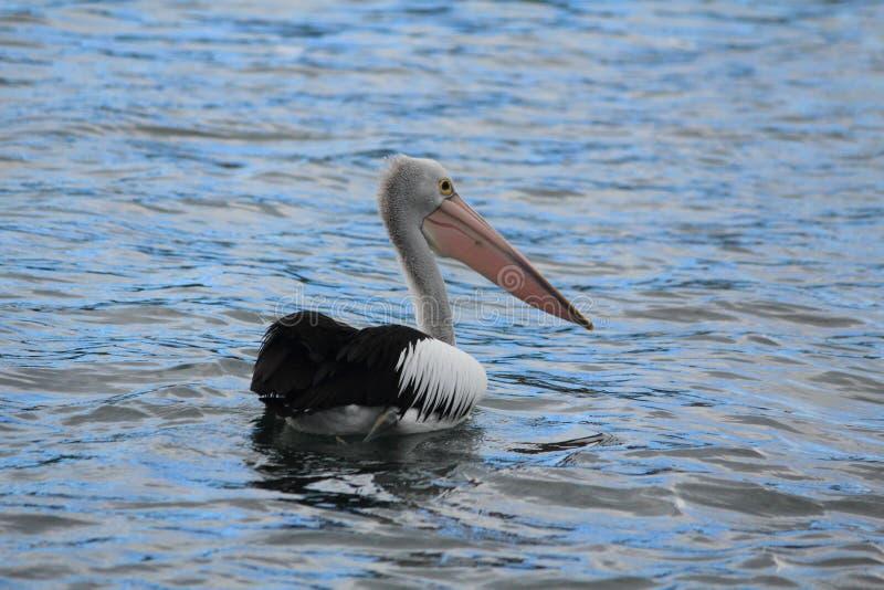 Pelican in Gippsland Lakes, Australia stock photos