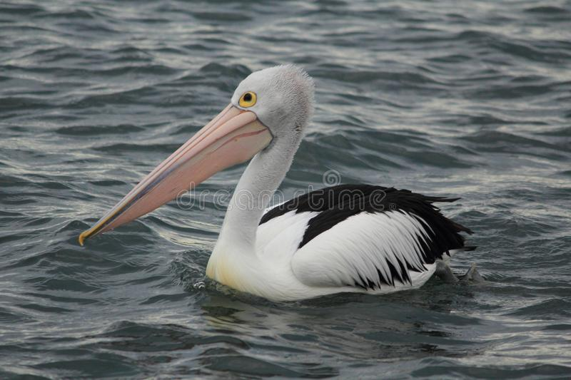 Pelican in Gippsland Lakes, Australia stock image