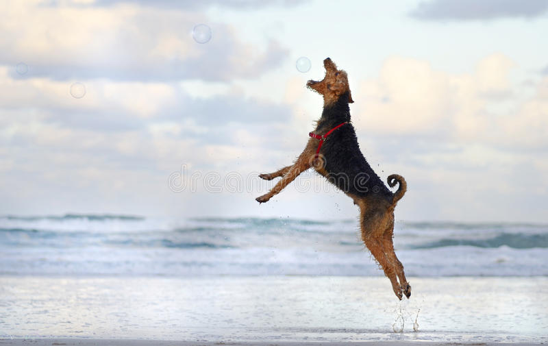 Big pet dog jumping running playing on beach in summer. A wonderful action shot of a purebred pedigree big Airedale Terrier pet dog having the time of his life