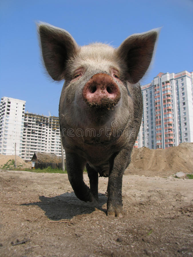 Free Big Pig Stock Image - 11999251
