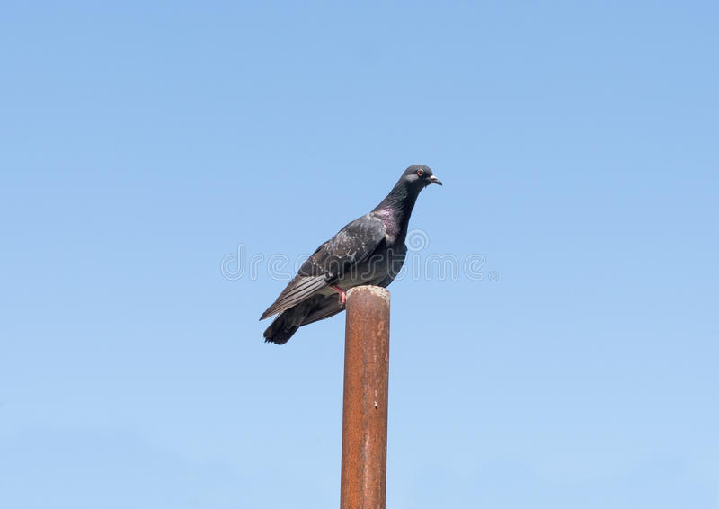 A big pigeon. A pigeon sits on a pipe royalty free stock photography