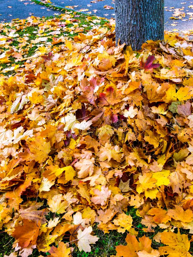 Big pile with autumn leaves around a tree trunk 2 stock photography